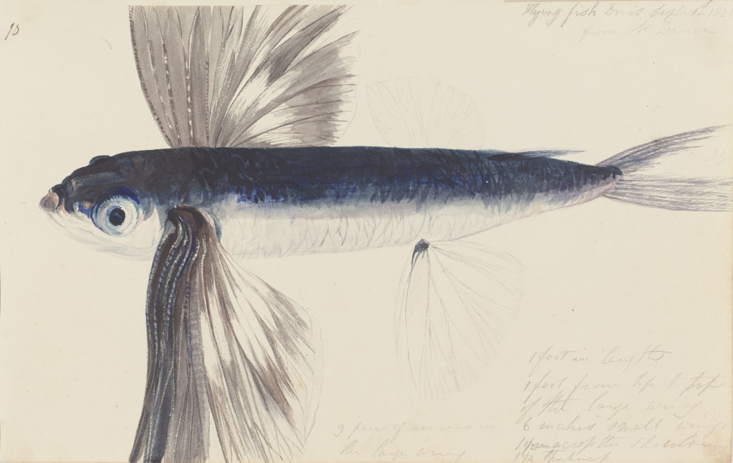 Watercolour sketch of a flying fish with hand written notes